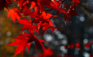 Maple leaves horizontal