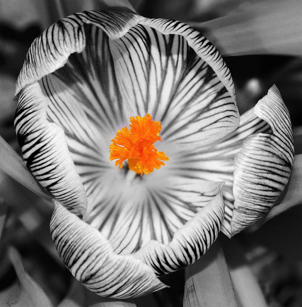 Black And White Photography With Color Flowers