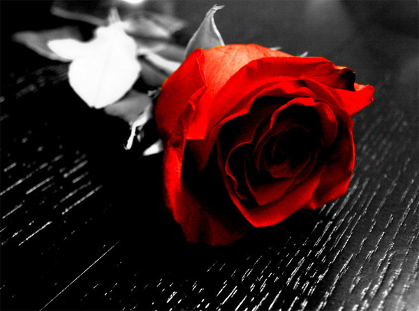 18-red-rose-black-and-white-photo