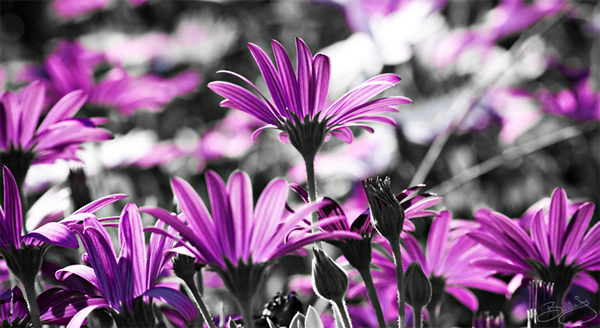 26-flowers-painted-pink-black-white-photography