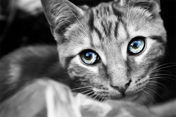 40 cat black white color eyes