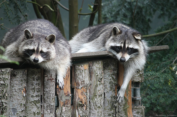 funny raccoons