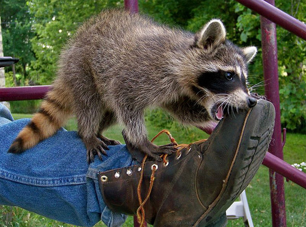 photos of raccoons