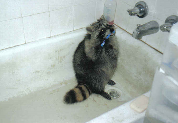 Raccoons photos