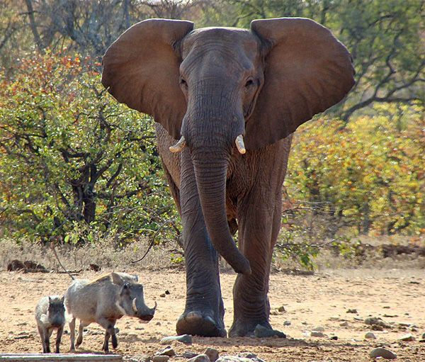 wildlife photography: warthogs and elephant