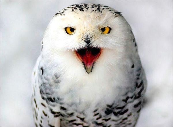 wildlife photography: snowy owl