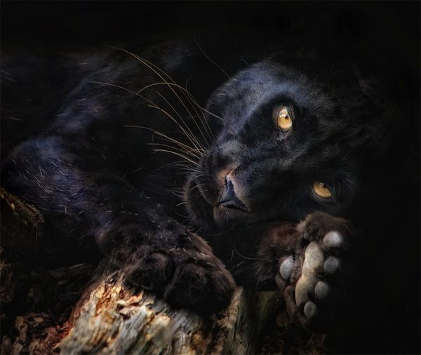 wildlife photography: panthera