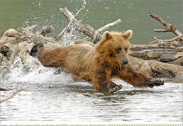 wildlife photography: brown bear