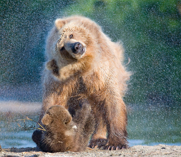 wildlife photography: bears