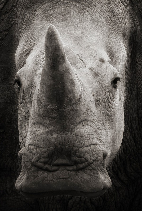 wildlife photography: rhino