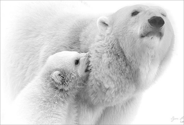 wildlife photography:white bear