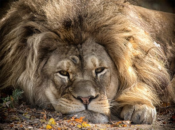 wildlife photography:lion