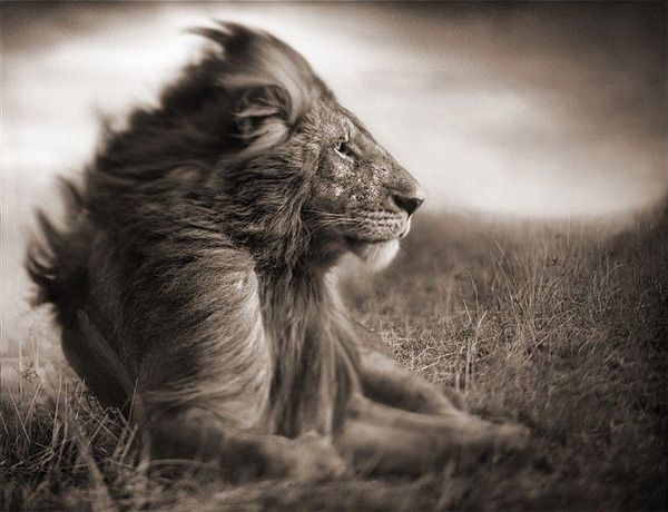 wildlife photography: lion