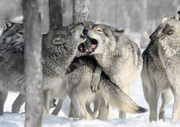 wildlife photography: Wolves