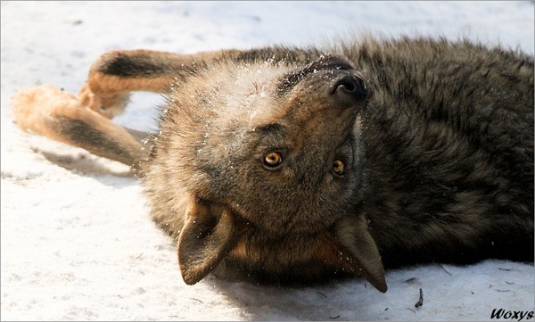 wildlife photography: wolf