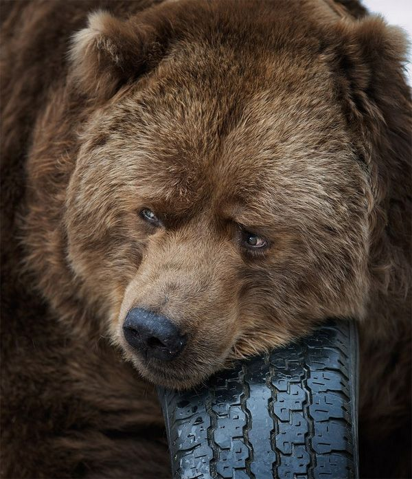 wildlife photography: bear