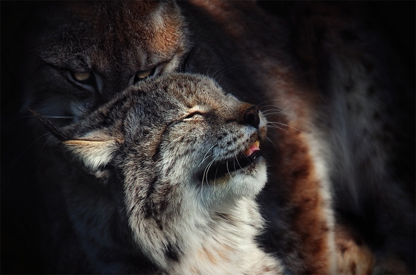 wildlife photography: wild cats
