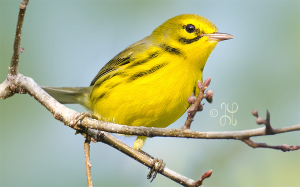 photo of a small yellow bird sitting on a twig
