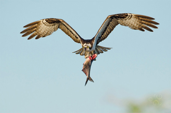 photo of an osprey flying with a fish