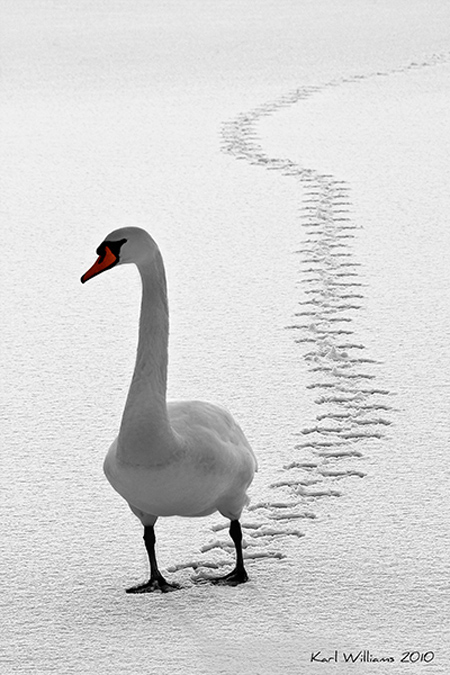 photo by Karl Williams: a long line of goose tracks