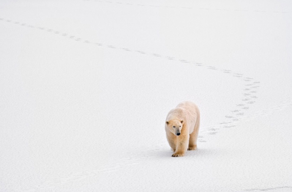 minimalist photography of a white bear