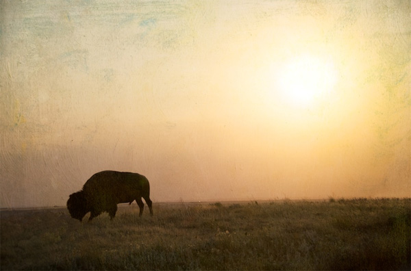 animal photography - bison