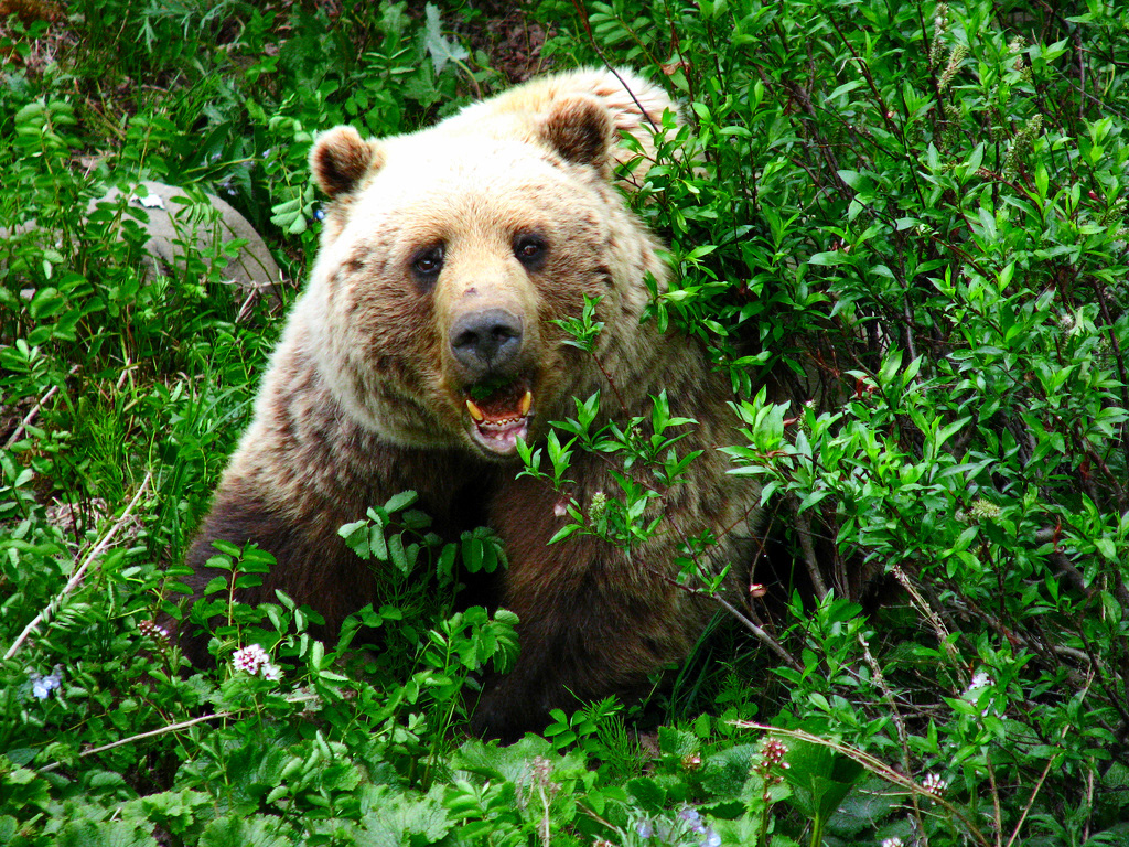 A large grizzly in the Denali National Park.