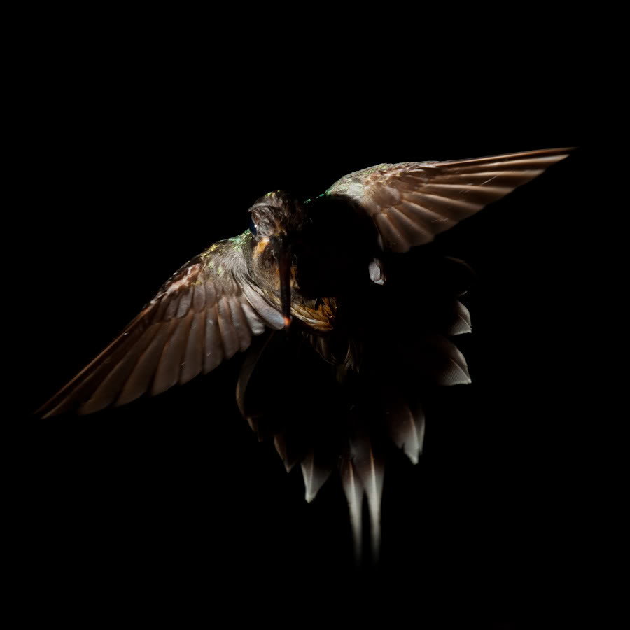 To capture a bird like this needs skill, an awesome camera and an awesome flash and an even more awesome relationship between the two