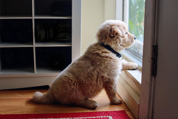 Window Watching Puppy